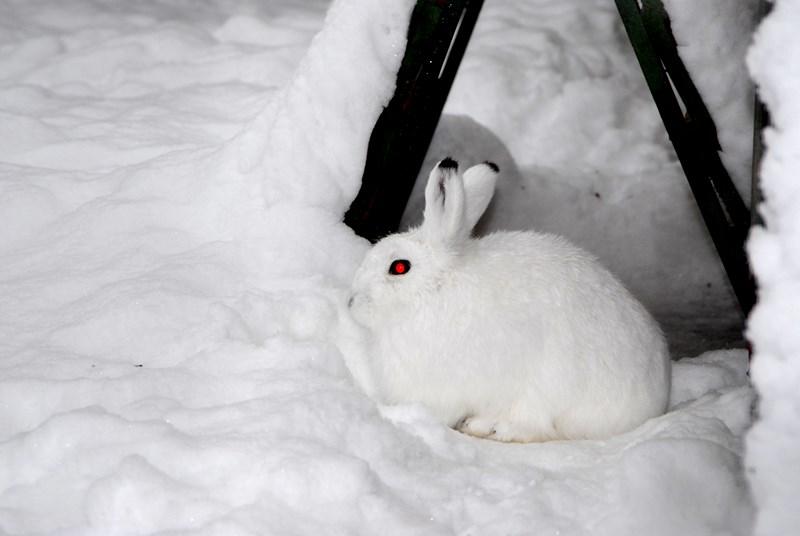 Заяц вид животного